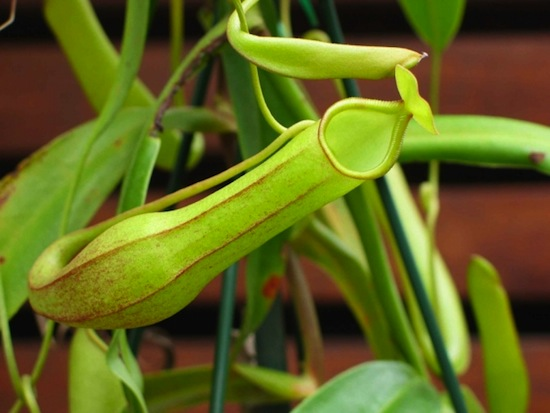 Растение Nepenthes spathulata
